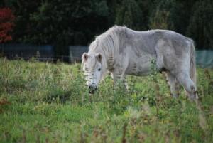 Pony bei der Futtersuche