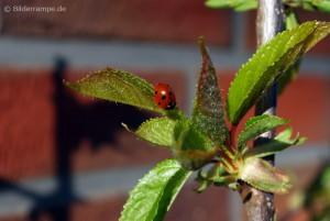 Erste Käfer