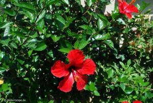Busch mit roten Blüten
