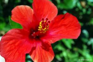 Rote Blüte mit Blütenstengel