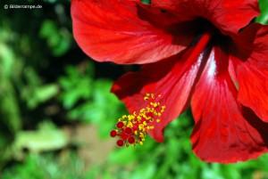 Blütenstengel mit Pollen