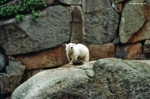 Knut im viel zu kleinen Gehege