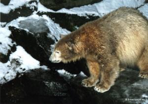 Dezember 2010: Knut im Bärengehege