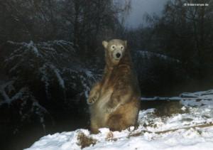 Dezember 2010: Knut in seinem Element