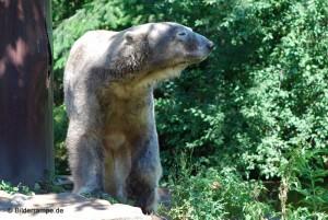 September 2010: Knut ist schon mächtig gewachsen