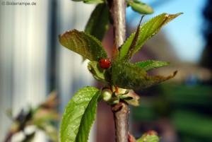 Marienkäfer auf Kirschbaum