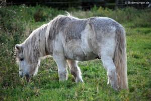 Pony beim Grasen