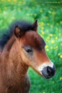 Der Blick des Ponys