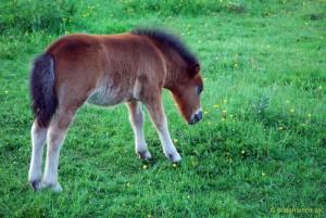 Ponyfohlen auf einer Wiese