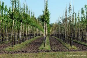 Bäume in Reih und Glied