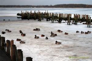 Enten eingefroren