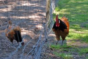 Der Hahn auf dem Bauernhof