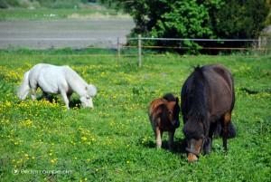 Pony Familie