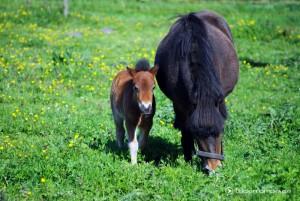 Pony Fohlen mit Stute beim Grasen