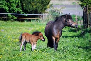 Ponys auf der Wiese