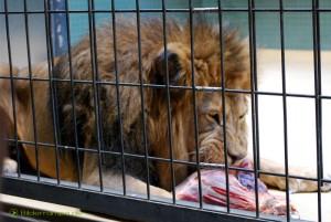 Löwe beim Fleischfressen