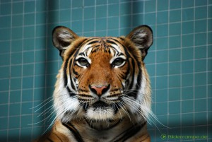 Tiger hinter Gittern