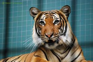 Tiger zeigt ein wenig Zähne