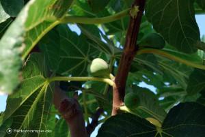 Frucht am Feigenbaum