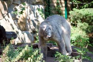 Knut in seinem Gehege