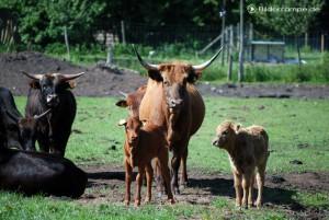Kühe in der Herde