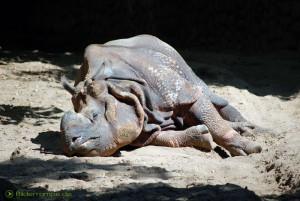 Schlafendes Nashorn