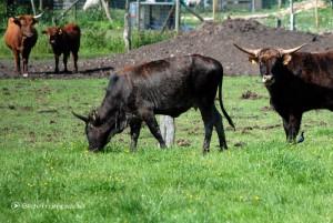 Rindviecher auf der Weide