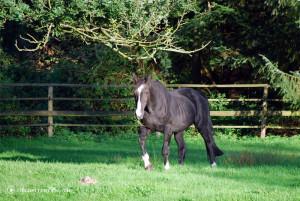 Schwarzes Pferd auf der Koppel