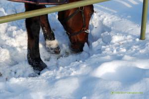 Ein Pferd sucht im Schnee nach Futter